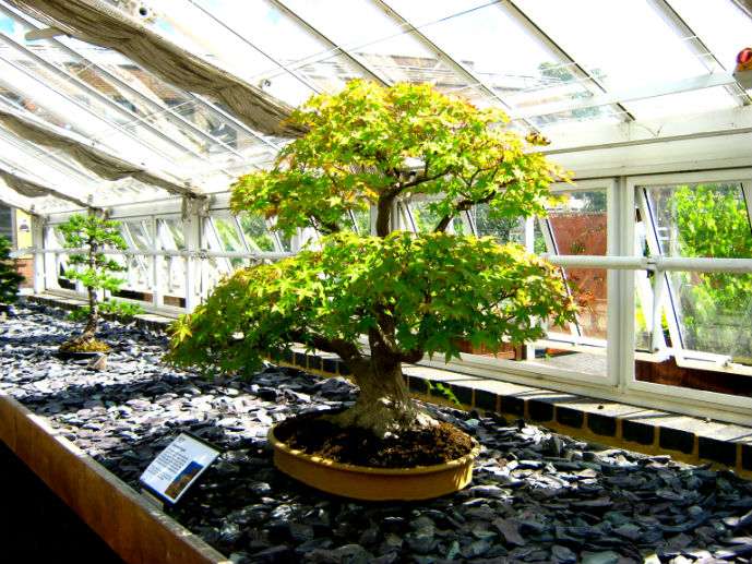 A Bonsai plant in the Bonsai House