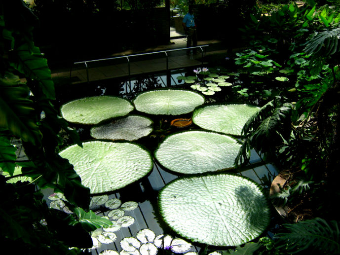 Giant lilipads in the Princess of Wales Conservatory