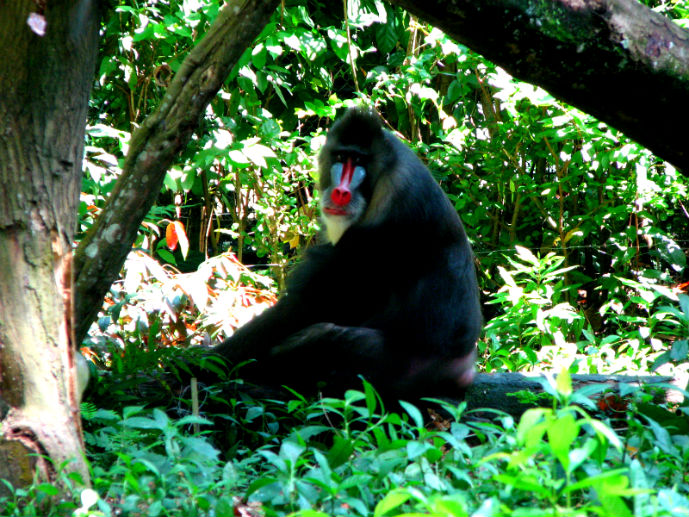 Mandrill at Singapore Zoo - Things to Do in Singapore - The Trusted Traveller