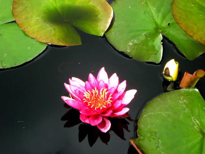 Waterlily in the Waterlily Pond