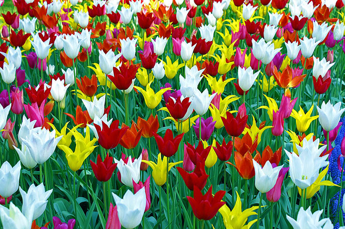 Mass colourful tulips in Keukenhof Gardens - Things to Do in Amsterdam - The Trusted Traveller