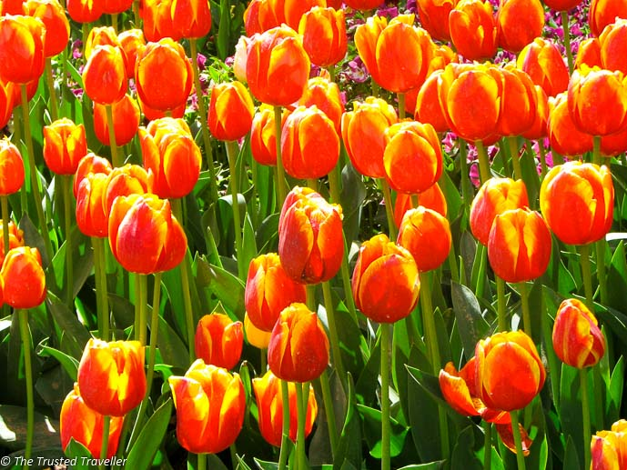 Mass planted tulips on display at Tulip Time - Things to Do in The Southern Highlands - The Trusted Traveller