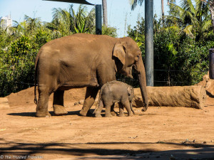 Asian Elephant's at Taronga Zoo