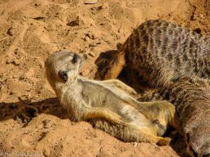 Meercats just chillin' at Taronga Zoo