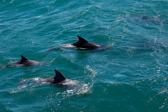 A pod of Dolphins in Jervis Bay - The Trusted Traveller
