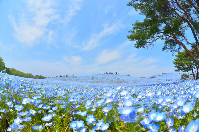 Hitachi Seaside Park, Japan - You Won't Believe Your Eyes: 6 Incredible Places Around the Globe - The Trusted Traveller