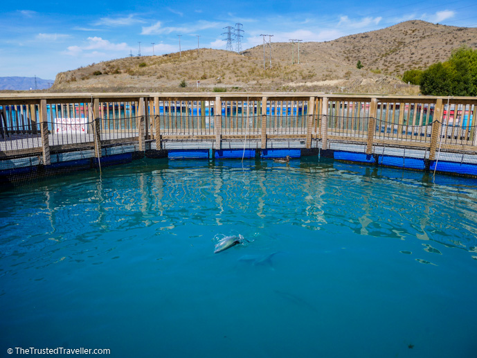 Salmon leaping out of the water for food at the High Country Salmon Farm near Twizel - Things to Do in New Zealand's Mackenzie Basin - The Trusted Traveller