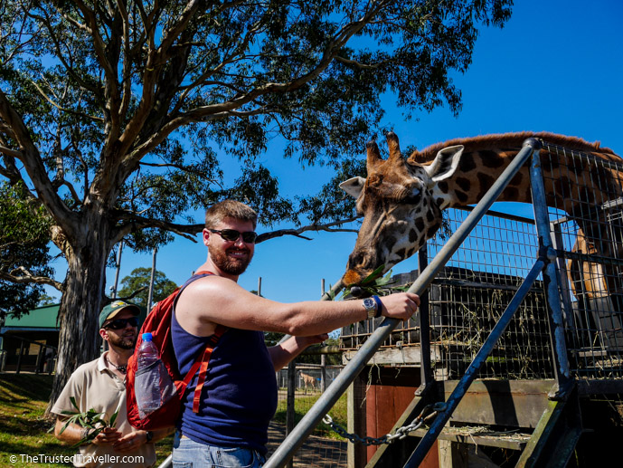 Feeding a giraffe at Mogo Zoo - Things to Do in Eurobodalla on the NSW South Coast - The Trusted Traveller