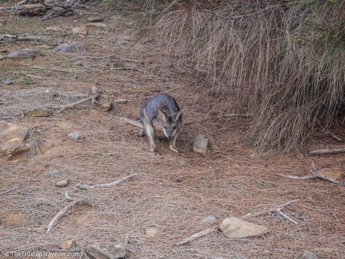 Be on the look out when driving around the island for wildlife like the tammar wallaby - How to Get to Kangaroo Island (plus the best ways to get around) - The Trusted Traveller