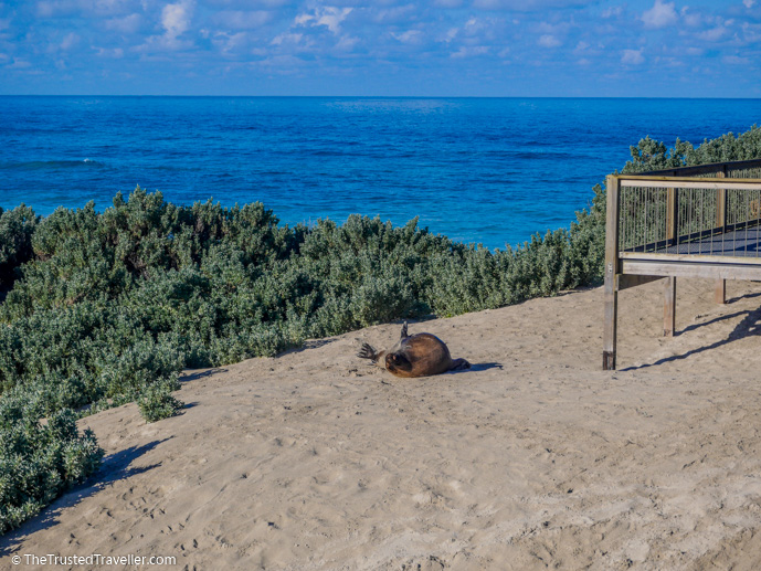 One of the big Sea Lion bulls have a scratch in the sand right by the boardwalk - Our Top 4 Kangaroo Island Wildlife Experiences - The Trusted Traveller