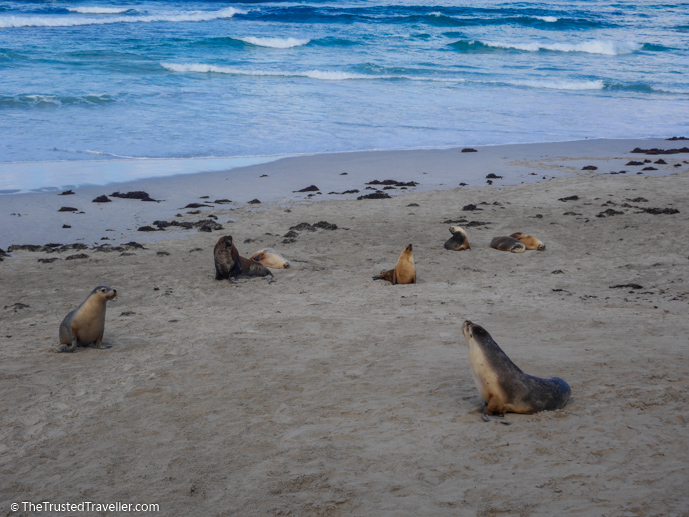 On the beach with the Sea Lions - Our Top 4 Kangaroo Island Wildlife Experiences - The Trusted Traveller