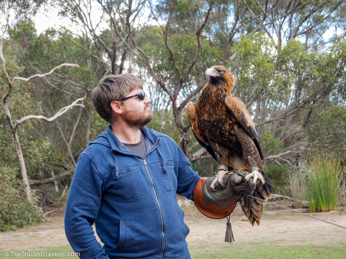 Tilka the Wedge-tailed Eagle - Our Top 4 Kangaroo Island Wildlife Experiences - The Trusted Traveller