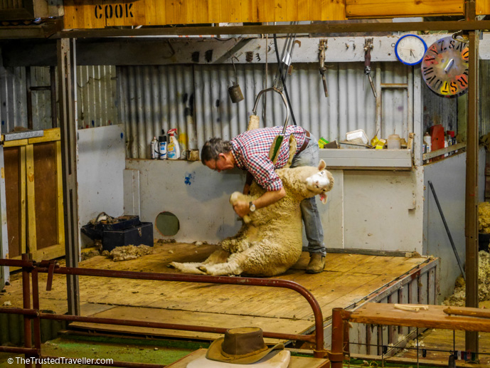 A sheep shearing demonstration at The Woolshed - Our Luxury Murray River Cruise Aboard the PS Murray Princess - The Trusted Traveller