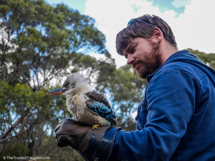Getting up close with a Blue-winged Kookaburra at the Raptor Domain - Things to Do on Kangaroo Island - The Trusted Traveller
