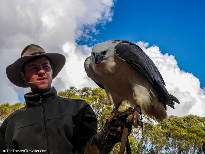 Makari the White-bellied Sea-eagle at the Raptor Domain - Things to Do on Kangaroo Island - The Trusted Traveller