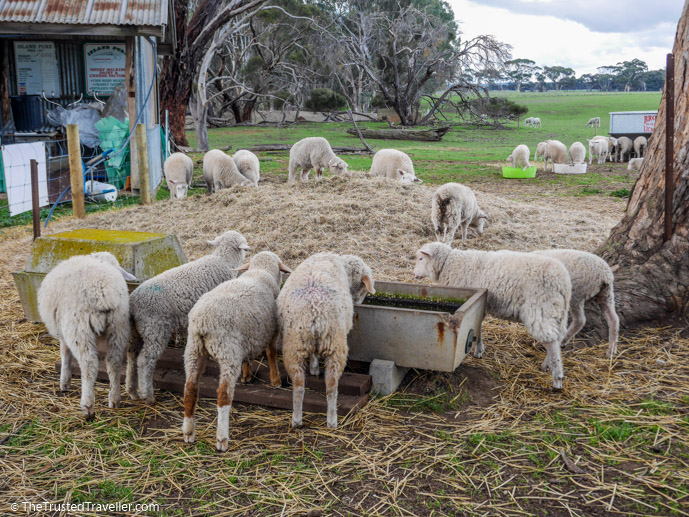 Sheep at Island Pure Sheep Dairy - Things to Do on Kangaroo Island - The Trusted Traveller