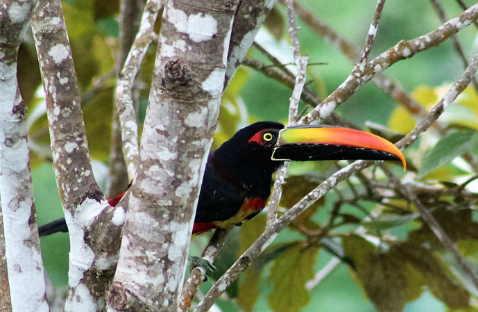 Toucans - My 10 Favorite Things About Costa Rica -The Trusted Traveller