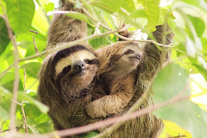 Sloths - My 10 Favorite Things About Costa Rica -The Trusted Traveller