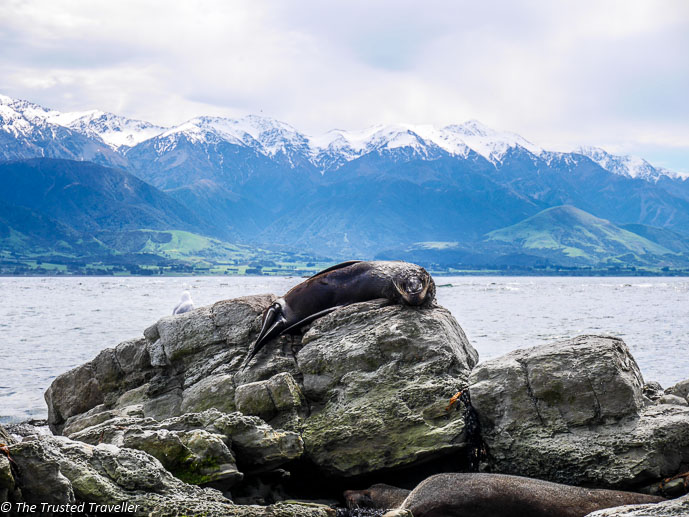 Seals at Point Kean - Two Week New Zealand South Island Road Trip Itinerary - The Trusted Traveller