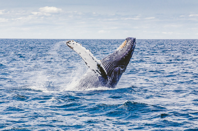 Humpback Whale- Things to Do on the NSW Sapphire Coast - The Trusted Traveller