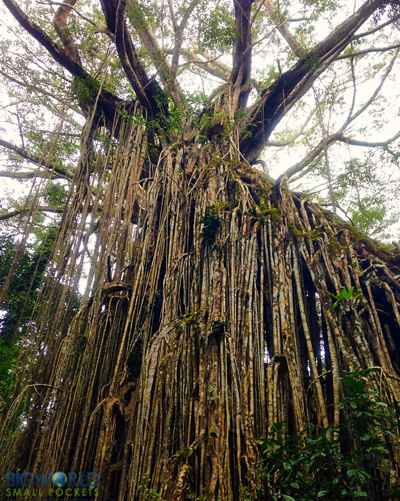 Curtain Fig Tree - 3 Days in the Atherton Tablelands: The Perfect Self-Drive Itinerary - The Trusted Traveller